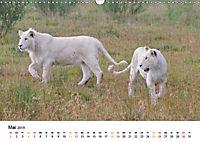 FAZINATION Weisse Löwen (Wandkalender 2019 DIN A3 quer) - Produktdetailbild 5
