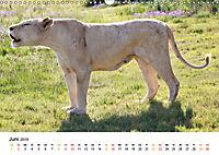 FAZINATION Weiße Löwen (Wandkalender 2019 DIN A3 quer) - Produktdetailbild 6
