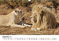 FAZINATION Weiße Löwen (Wandkalender 2019 DIN A3 quer) - Produktdetailbild 12