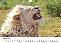 FAZINATION Weiße Löwen (Wandkalender 2019 DIN A4 quer) - Produktdetailbild 1