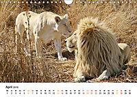FAZINATION Weiße Löwen (Wandkalender 2019 DIN A4 quer) - Produktdetailbild 4