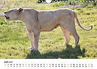 FAZINATION Weiße Löwen (Wandkalender 2019 DIN A4 quer) - Produktdetailbild 6