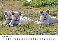 FAZINATION Weiße Löwen (Wandkalender 2019 DIN A4 quer) - Produktdetailbild 9