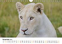 FAZINATION Weiße Löwen (Wandkalender 2019 DIN A4 quer) - Produktdetailbild 11