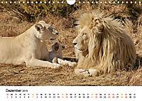 FAZINATION Weiße Löwen (Wandkalender 2019 DIN A4 quer) - Produktdetailbild 12