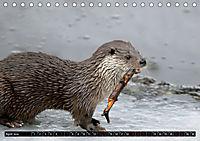 Fischotter, flinke Jäger (Tischkalender 2019 DIN A5 quer) - Produktdetailbild 4