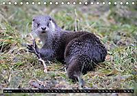 Fischotter, flinke Jäger (Tischkalender 2019 DIN A5 quer) - Produktdetailbild 7