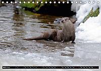 Fischotter, flinke Jäger (Tischkalender 2019 DIN A5 quer) - Produktdetailbild 3