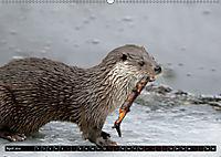Fischotter, flinke Jäger (Wandkalender 2019 DIN A2 quer) - Produktdetailbild 4