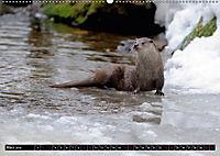 Fischotter, flinke Jäger (Wandkalender 2019 DIN A2 quer) - Produktdetailbild 3