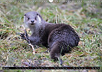 Fischotter, flinke Jäger (Wandkalender 2019 DIN A3 quer) - Produktdetailbild 7