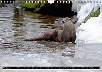 Fischotter, flinke Jäger (Wandkalender 2019 DIN A4 quer) - Produktdetailbild 3