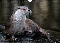Fischotter, flinke Jäger (Wandkalender 2019 DIN A4 quer) - Produktdetailbild 9