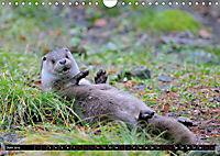 Fischotter, flinke Jäger (Wandkalender 2019 DIN A4 quer) - Produktdetailbild 6