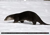 Fischotter, flinke Jäger (Wandkalender 2019 DIN A4 quer) - Produktdetailbild 12