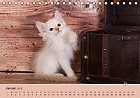 Flauschige Ragdoll Kitten (Tischkalender 2019 DIN A5 quer) - Produktdetailbild 1