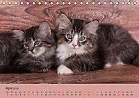 Flauschige Ragdoll Kitten (Tischkalender 2019 DIN A5 quer) - Produktdetailbild 4