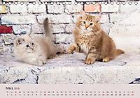 Flauschige Ragdoll Kitten (Tischkalender 2019 DIN A5 quer) - Produktdetailbild 3