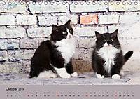 Flauschige Ragdoll Kitten (Tischkalender 2019 DIN A5 quer) - Produktdetailbild 10