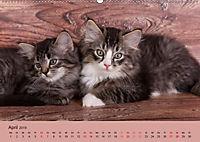 Flauschige Ragdoll Kitten (Wandkalender 2019 DIN A2 quer) - Produktdetailbild 4