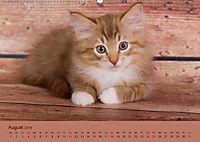 Flauschige Ragdoll Kitten (Wandkalender 2019 DIN A2 quer) - Produktdetailbild 8