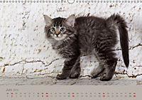 Flauschige Ragdoll Kitten (Wandkalender 2019 DIN A3 quer) - Produktdetailbild 6