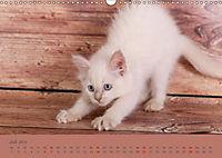 Flauschige Ragdoll Kitten (Wandkalender 2019 DIN A3 quer) - Produktdetailbild 7