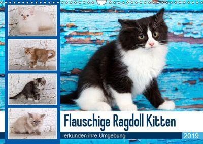 Flauschige Ragdoll Kitten (Wandkalender 2019 DIN A3 quer), Verena Scholze