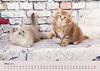 Flauschige Ragdoll Kitten (Wandkalender 2019 DIN A3 quer) - Produktdetailbild 3