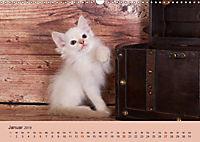 Flauschige Ragdoll Kitten (Wandkalender 2019 DIN A3 quer) - Produktdetailbild 1