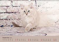 Flauschige Ragdoll Kitten (Wandkalender 2019 DIN A3 quer) - Produktdetailbild 9