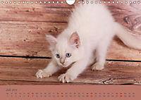 Flauschige Ragdoll Kitten (Wandkalender 2019 DIN A4 quer) - Produktdetailbild 7