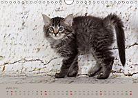 Flauschige Ragdoll Kitten (Wandkalender 2019 DIN A4 quer) - Produktdetailbild 6