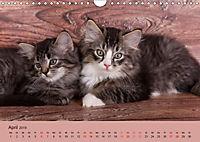 Flauschige Ragdoll Kitten (Wandkalender 2019 DIN A4 quer) - Produktdetailbild 4
