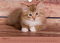 Flauschige Ragdoll Kitten (Wandkalender 2019 DIN A4 quer) - Produktdetailbild 8