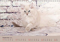 Flauschige Ragdoll Kitten (Wandkalender 2019 DIN A4 quer) - Produktdetailbild 9