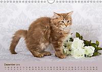 Flauschige Ragdoll Kitten (Wandkalender 2019 DIN A4 quer) - Produktdetailbild 12
