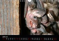 Fledermäuse - Jäger der Nacht (Wandkalender 2019 DIN A4 quer) - Produktdetailbild 6