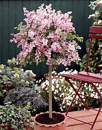 ginkgo st mmchen mariken 1 pflanze mit 40 cm stammh he. Black Bedroom Furniture Sets. Home Design Ideas