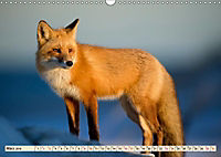 Fuchs - schlauer Räuber (Wandkalender 2019 DIN A3 quer) - Produktdetailbild 3