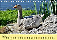 Gänse. Von wegen dumme Gans! (Tischkalender 2019 DIN A5 quer) - Produktdetailbild 4