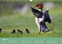 Gänsesäger - alleinerziehende Mütter im Schloßpark Nymphenburg (Wandkalender 2019 DIN A3 quer) - Produktdetailbild 3