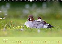 Gänsesäger - alleinerziehende Mütter im Schlosspark Nymphenburg (Wandkalender 2019 DIN A3 quer) - Produktdetailbild 6