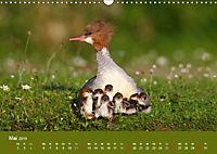 Gänsesäger - alleinerziehende Mütter im Schloßpark Nymphenburg (Wandkalender 2019 DIN A3 quer) - Produktdetailbild 5