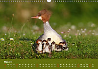 Gänsesäger - alleinerziehende Mütter im Schlosspark Nymphenburg (Wandkalender 2019 DIN A3 quer) - Produktdetailbild 5