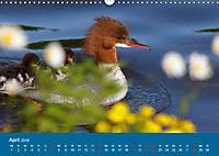 Gänsesäger - alleinerziehende Mütter im Schlosspark Nymphenburg (Wandkalender 2019 DIN A3 quer) - Produktdetailbild 4