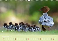 Gänsesäger - alleinerziehende Mütter im Schlosspark Nymphenburg (Wandkalender 2019 DIN A3 quer) - Produktdetailbild 9