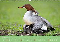 Gänsesäger - alleinerziehende Mütter im Schloßpark Nymphenburg (Wandkalender 2019 DIN A3 quer) - Produktdetailbild 2