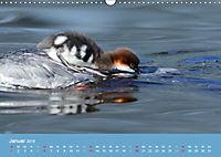 Gänsesäger - alleinerziehende Mütter im Schloßpark Nymphenburg (Wandkalender 2019 DIN A3 quer) - Produktdetailbild 1