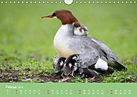 Gänsesäger - alleinerziehende Mütter im Schlosspark Nymphenburg (Wandkalender 2019 DIN A4 quer) - Produktdetailbild 2